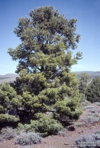 Single-leaf pinyon pine