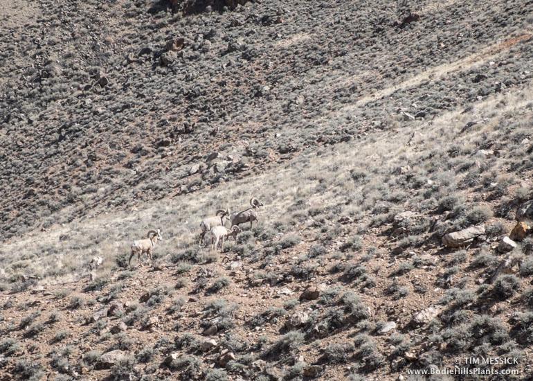 Desert Bighorn Sheep