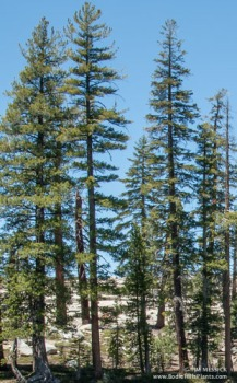 Lodgepole pines