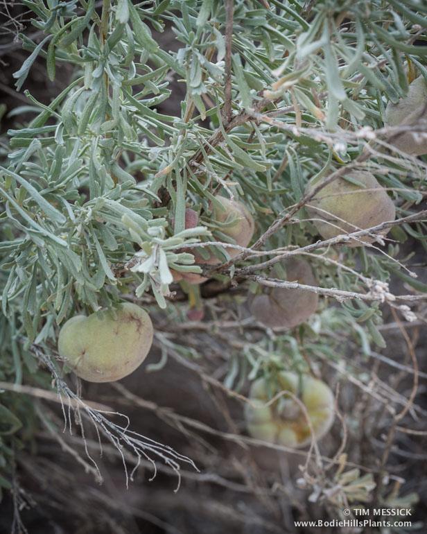 Sagebrush galls