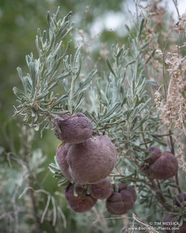 Sagebrush galls