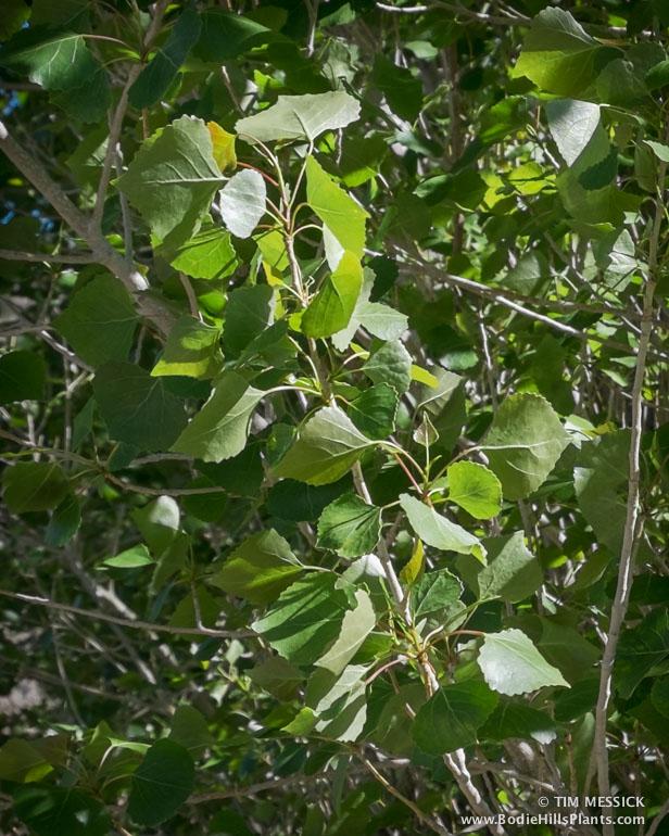 Fremont Cottonwood