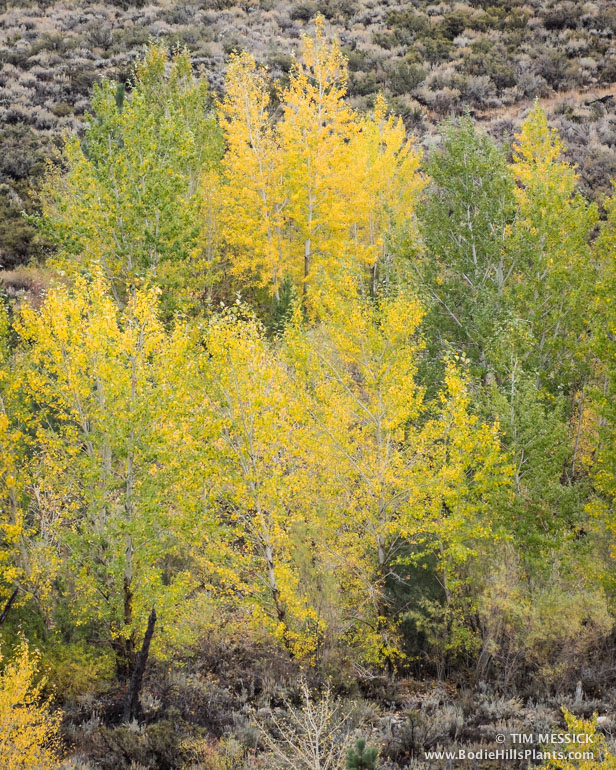 Black Cottonwood