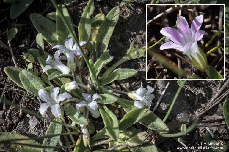 Hesperochiron californicus