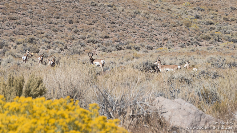 Pronghorn in Fletcher Valley