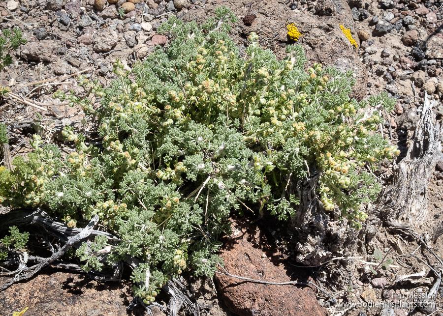 Artemisia spinosa