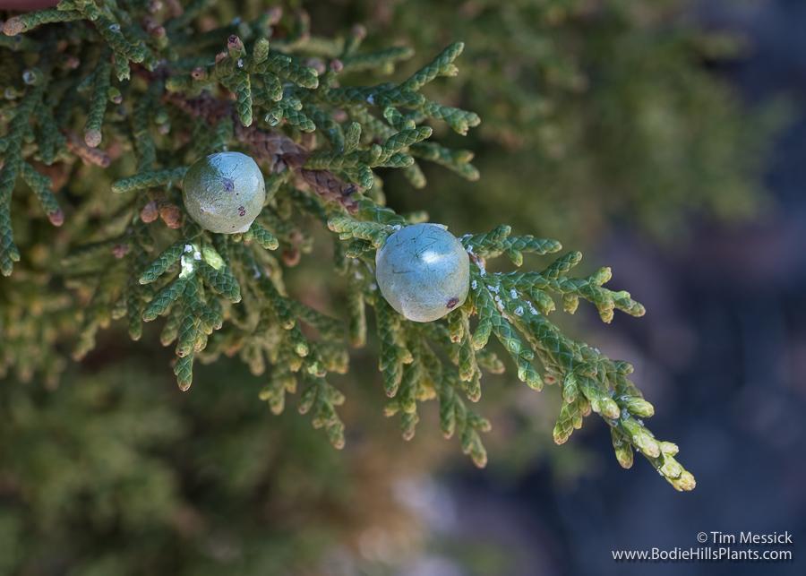 Utah juniper fruits