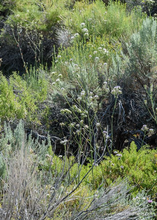 Thelypodium integrifolium
