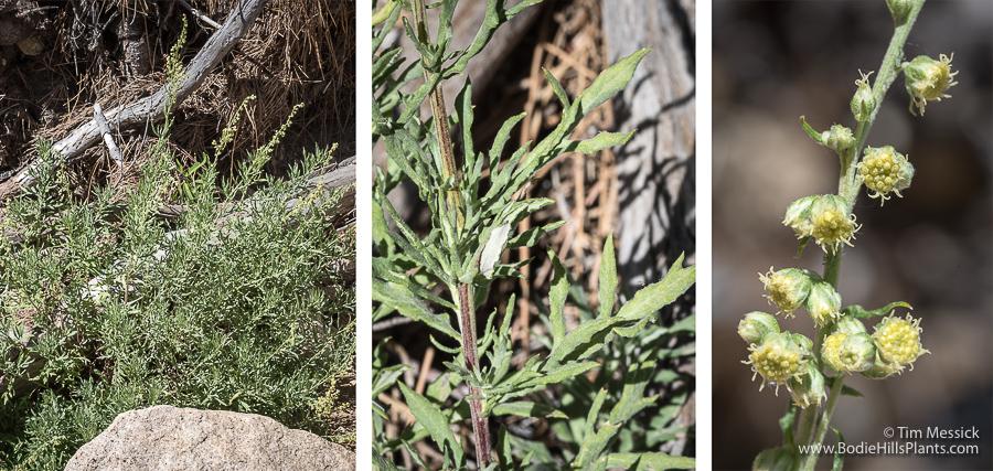 Artemisia ludoviciana