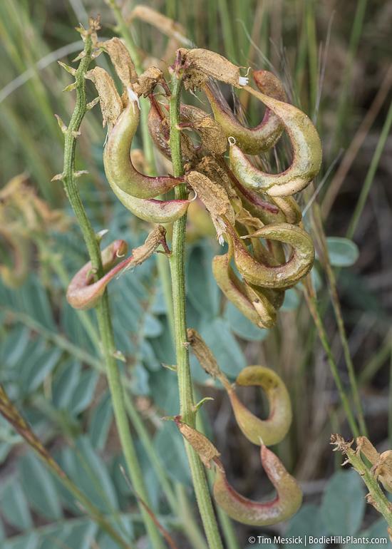 Astragalus curvicarpus