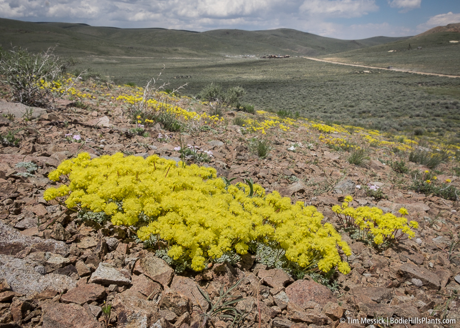 Eriogonum on a hill south of Bodie