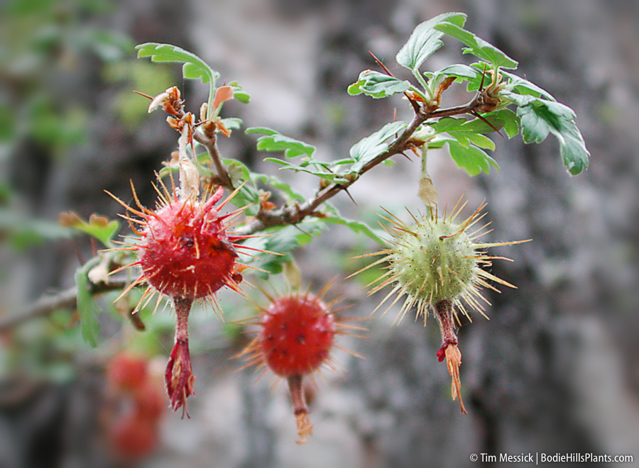 Ribes roeslii