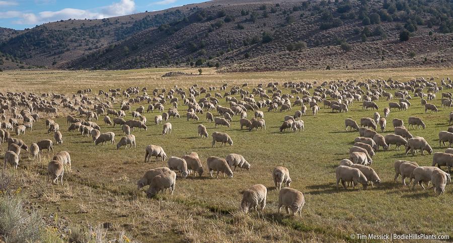 Too Many Sheep